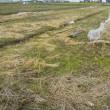 赤米刈り再び