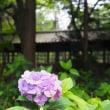 にしさんの花日記 紫陽花 千葉 本土寺