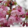 ヨウコウ 〈陽光〉桜
