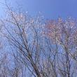 軽井沢の桜見頃に ✿