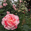 Kさん宅のバラ                     2018.5.18