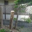 処分した2本の栃の木