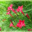 教会の縷紅草