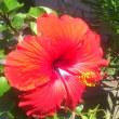 庭の花 (ハイビスカス)
