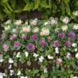 ハボタンの花壇。