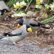 イカル――又々々も初見鳥
