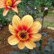 天然の「霊芝・れいし」の芽 発見