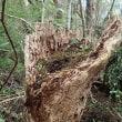 オオトラツグミの巣の観察