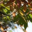 # 紅葉&愛らしいお顔をしている、エナガの姿、ドキドキ眺め # KK楽園(岐阜県各務原市)