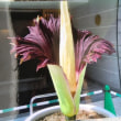 ショクダイオオコンニャクの花