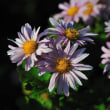 Vol.2030  近所の花畑の菊が綺麗に咲いていました。( Photo No.14110)