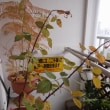 バラの冬剪定と植え替え。