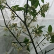 ベランダ菜園 果物の防虫、防鳥