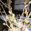 桜 咲きました ♪ ♪