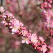 「おはようの花」 ニワウメ [庭梅] 3月