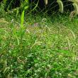 秋の野草のすばらしさを満喫、  第1回野草観察会  2016年10月9日(日)実施