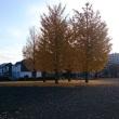 天王森公園の銀杏