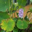 ホテイアオイ 咲きました