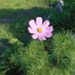 6月の日記17 河内にコスモス咲く
