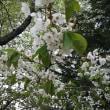 まだまだ桜咲く