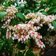 『季節の花』 馬酔木