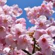 桜満開~♪