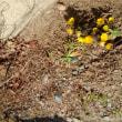 福寿花も咲き春の芽培