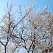満開の桜?・・・