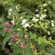 昭和記念公園・秋の花々