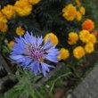 色んな季節の花が咲いていて。(山茶花、椿、紫陽花、ヤグルマギク、ツツジ)