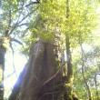 屋久島・ヤクスギランド ~「もののけ」と神々の島へ⑬
