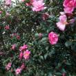 ♪~山茶花の花~♪