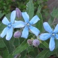 <オキシペタラム> 明るい空色と星形の花で人気