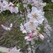菩提樹苑の醍醐桜