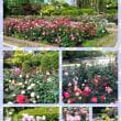 徳島中央公園のバラ