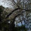 七条西町に観たシジュウカラの花散らし