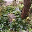 雨のツワブキ