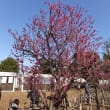 千歳船橋の東京農大博物館でイノシシ展をみて梅ヶ丘で梅の香りに包まれた。