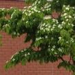 ヤマボウシの花&10のアップデート