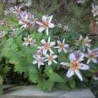 庭の花 ホトトギス・サザンカ 11月中旬