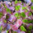 紫陽花  H18年
