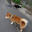 夕方散歩と鼻黒ちゃん 2017 0530