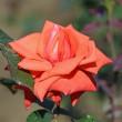 神代植物公園で咲くいろいろな「秋バラ」(その3) !!