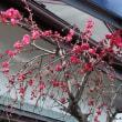 安曇野は今桜が満開です