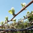 春本番! キウイフルーツの花芽をつけた新芽が伸びました。
