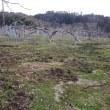 イノシシがりんご園を掘り返してます。
