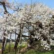 『千歳桜』
