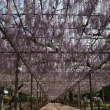 曼陀羅寺の藤
