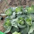 1 「赤帽さん」の市民菜園の現況  30㎡の借り上げ農園です