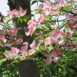 2018.4.15(日) 花水木の花が咲く